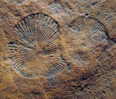 2 specimens of the odd fossil Dickinsonia, a 550-Ma-old fossil from the Ediacaran Hills of S AU. What is it? After more than 60 yrs of study, we're still not sure, although we think it's an animal