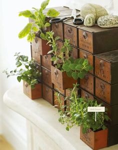 Love these old drawers used as an indoor Herb Garden!