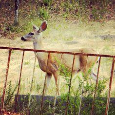 deer in Cambria, CA