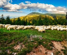 Composite image of rural landscape with flock of sheep on the hillside meadow at the foot of the mountain in Romania Royalty Free Images, Royalty Free Stock Photos, High Resolution Picture, Flocking, Sheep, My Photos, Mountains, Landscape, Fresh