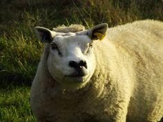 Medium close up of a sheep