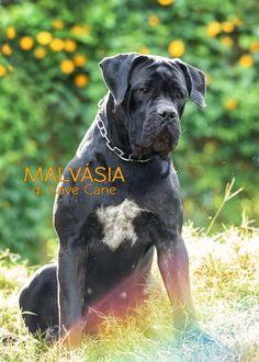 Mastiff Italiano, Cane Corso Italiano, Italian Mastiff Puppies, Cane Corso Italian Mastiff, Cão Cane Corso, Huge Dogs, Catholic Saints, Mans Best Friend, Pets