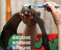 Fruit bats are adorable, especially while being brushed with toothbrushes. But they are not pets!