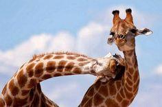 Caras de jirafas - Buscar con Google