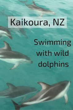 Swimming with wild dolphins in the ocean! This is possible in Kaikoura, New Zealand - in the article are some planning tips, many photos and a video of the experience - ZigZag On Earth