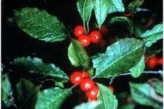Image of Ilex verticillata Winterberry holly (USDA)