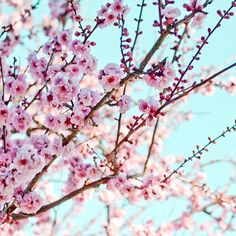 Cherry blossoms photography  pink tree branch by LupenGrainne, $30.00
