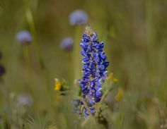 Wind Wolves:  The Bug by Wayne Wong on Capture Kern County // You car barely see it in the thumbnail, but there is a sharp capture of a little bug at the top of the lupine.