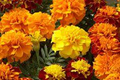 Resultado de imagen de flor tagetes