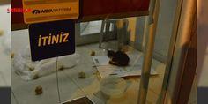 Bank Asyada kedi operasyonu : Yavru bir kedinin kapatılan Bank Asyanın Şair Fuzuli Caddesi üzerindeki şubesinin içinde mahsur kaldığını gören hayvanseverler harekete geçti. Banka şubesinin önüne gelen Hayvan Hakları Federasyonu (HAYTAP) Eskişehir İl Temsilcisi Ayten Tutkun ve beraberindekiler ilgililerle iletişime geçti. Hayva...  http://ift.tt/2dE4B6h #Türkiye   #Bank #şubesi #geçti #kedi #Asya