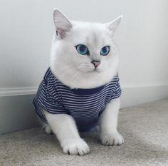 m.estilodf.tv noticias conoce-a-coby-el-gato-mas-hermoso-del-mundo