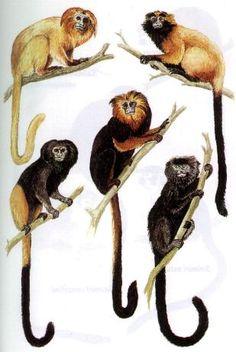 Leontopithecus rosalia - Leontopithecus caissara - Alouatta seniculus - Alouatta belzebul. Leontopithecus chrysomelas - Alouatta caraya (femea e macho)