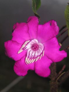 Meriania Horrida Is A Showy Shrub With Bright Pink Colored Flowers Known From Three Localities Of The Madidi Region Bolivia Credit