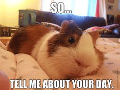 Guinea pigs are great listeners.