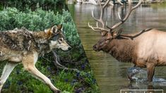 After 25 years of wolves in Yellowstone, we can answer lingering concerns regarding their influence on elk and moose populations, as well as answer whether wolves can truly be credited with changing rivers.