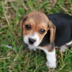 hmm,,... beagle