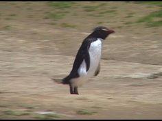 ▶ Funny Penguin Video 2 - Rockhopper Penguins - YouTube