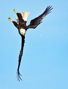 √ 11 Types of Eagles in The World With Awesome Pictures Pretty Birds, Beautiful Birds, Animals Beautiful, Eagle Pictures, Animal Pictures, Types Of Eagles, Where Eagles Dare, Wings Like Eagles, Eagle Wings
