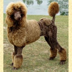 This Standard Poodle sure knows how to pose for a picture!