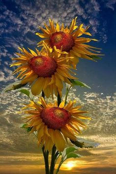 Sunflower Amazing World beautiful amazing Happy Flowers, Beautiful Flowers, Beautiful Pictures, Sun Flowers, Simply Beautiful, Sunflower Pictures, Sunflower Art, Illustration Photo, Sunflowers And Daisies