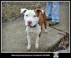 """URGENT!!! PLEASE HELP THIS LOVABLE GUY """"NEO""""!!!! MAHONING DOG POUND Youngstown, OHIO...Neo (ID #1) is a totally adorable male pitbull who was found as a stray. He is still pretty scared, so we don't know a whole lot about him, although he has been friendly with everyone he's met so far. Neo will be available for adoption on January..."""