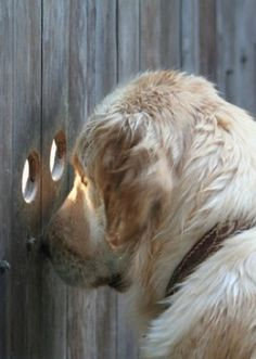golden retriever ~ peeking through the fence Love My Dog, Cute Puppies, Cute Dogs, Dogs And Puppies, Doggies, Animals And Pets, Funny Animals, Cute Animals, Photo Animaliere