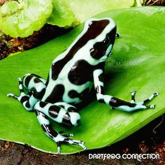Dendrobates Auratus  Green & Black Panama dishes. Best kept in a pair (1 male to 1 female). Male have wider finger discs and a more defined Back Structure. Females tend to be Larger and usually have cleavage in the chest region. Reaches sexual maturity in 10-16 months on average. Produces egg clutches every 5 to 10 days. Clutch size is 3-10 eggs on average. Metamorphosis takes on average 70 days  Other: Do Not Mix Species