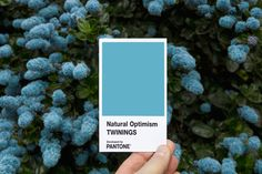 Flowers in bloom.  Pantone and Twinings Tea UK partnered to develop a color of 'Natural Optimism' – an airy and weightless blue shade with an undertone of sunny yellow warmth.