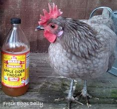 Adding apple cider vinegar to our chickens water a few times a week not only makes the water more appealing to them, it also keeps the waterers cleaner and controls the bacteria both in the water and in the hens digestive system. The vinegar boosts good bacteria and is thought to also even combat coccidia, which is present in most chicken runs, no matter how fastidiously they are cleaned.