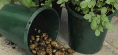 Great website... this article on growing potatoes in bags etc. has good info on watering etc.