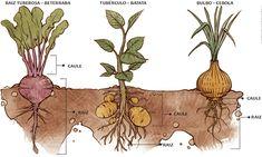 PLANTIO E HORTA EM CASA - duvidas sobre plantio: Qual a diferença entre raiz tuberosa, tubérculo e bulbo?