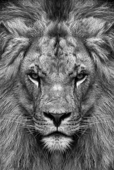Trendy Wallpaper Black And White Lion Ideas Black And White Lion, Lion Head Tattoos, Lion And Lioness Tattoo, Tattoo Arm Frau, Lion Photography, Lions Photos, Lion Wallpaper, Trendy Wallpaper, Lion Love