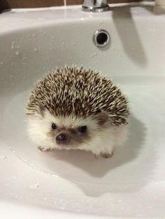 Super Cute Animals, Cute Little Animals, Cute Funny Animals, Cute Cats, Baby Hedgehog, Tier Fotos, Cute Animal Pictures, Cute Creatures, Animals Beautiful