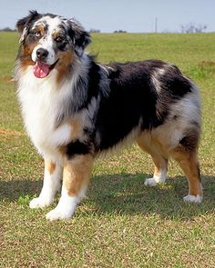 Australian shepherd...I miss my aussie Buck he was a super hero having saved my life and my mothers in his time on this earth. The aussie is a tremendous dog!