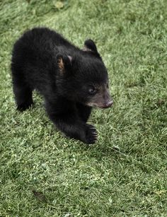 Baby black bear in The Smoky Mountains.