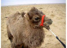 Baby camel, Gobi Desert, Mongolia