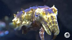 Stumpy Cuttlefish on Exhibit!