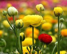 Ranunculus, When To Plant Bulbs, Plant Life Online Ranunculus Flowers, Beautiful Flowers Wallpapers, Beautiful Flowers Garden, Real Flowers, Planting Bulbs, Allium, Flower Images, Flower Wallpaper, Vintage Roses
