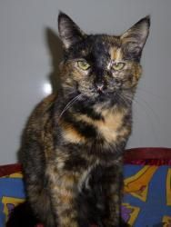Preakness is an adoptable Tortoiseshell Cat in Defiance, OH. Preakness is an absolutely gorgeous torti. Her gold marks just shine thru her black fur. Preakness arrived when she was 6 weeks old. Her bi...