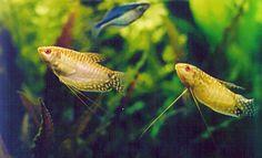 Gourami Fish Male vs Female | photos by Jim Hurley