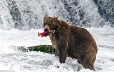A brown bear appears relaxed just after plucking a salmon from the water beneath a waterfa...