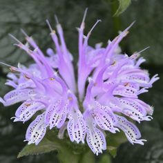 Flower Garden 'Leading Lady Lilac' Bee Balm will bloom early in your garden, reaching a height of hardy to zone 3 too. Flower Garden, Purple Flowers, Bee Balm, Flowers Perennials, Deer Resistant Plants, Plants, Lilac, Purple Plants, Perennials