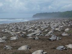 Another mass arrival of turtles at Ostional beach, Guanacaste - Costa Rica.
