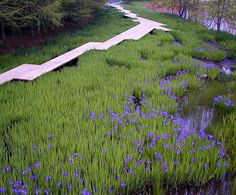 Iris laevigata, path,...and look at the light on the water, esp in upper right.
