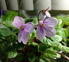 Mis princesas (violetas) | Página 3 Saintpaulia, Plants, Violets, Kiss, Thanks, Princesses, African Violet, Plant, Planets
