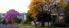 Rua da cidade de Chapecó (SC), contemplada por dois ipês floridos. Foto enviada por Elizani Rommel