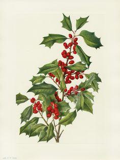 Walcott North American Wild Flowers 1925/Holly Botanical print