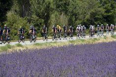 2013 Tour de France, stage 15: lavender  The peloton passes a field of lavender on stage 15. Photo: Graham Watson | www.grahamwatson.com