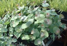 Growing eucalypts from seed