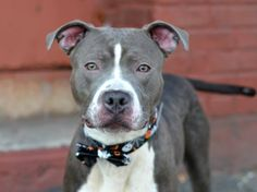 TO BE DESTROYED - 10/05/14 Brooklyn Center -P  My name is BRUNO. My Animal ID # is A1015274. I am a male gray and white pit bull mix. The shelter thinks I am about 1 YEAR 1 MONTH old.  I came in the shelter as a OWNER SUR on 09/25/2014 from NY 11226, owner surrender reason stated was DESTRUCTIV.